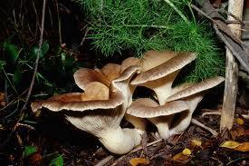 Fungo della ferula - Pleurotus eryngii var. ferulae