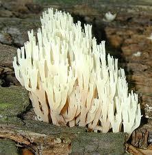 Ramaria pyxidata