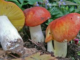 Russula aurata - Colombina dorata